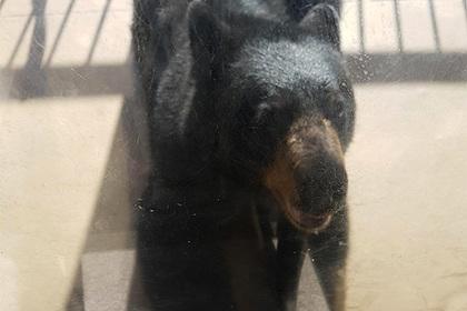 Погнавшегося за ребенком медведя ударили по морде