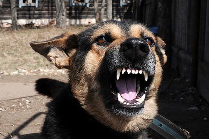 Собака загрызла пятилетнюю дочь хозяев под Калининградом