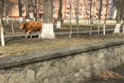 Жители Беслана расстроились из-за коров у мемориала жертвам теракта