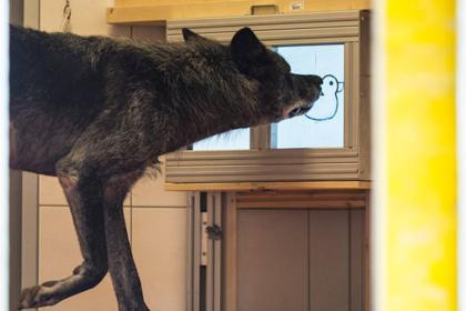 Волки оказались заботливее собак