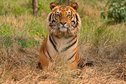 Тигр напал на мужчину и съел его конечности