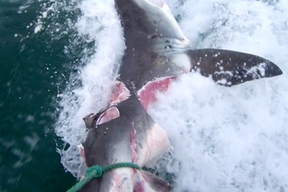 Акула-людоед длиной 4,5 метра схватила лодку зубами и прогнала рыбаков
