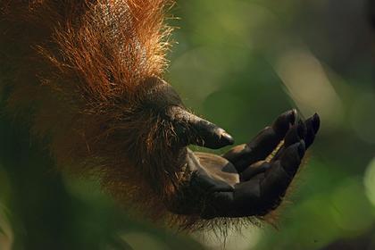 Орангутан протянул руку помощи стоявшему в кишащей змеями реке человеку