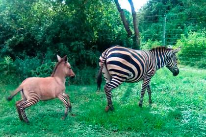 Своенравная зебра пустилась в бега и родила от осла