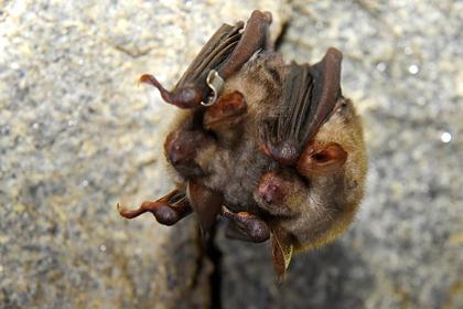 Лаборатория Уханя нашла «вселенную коронавирусов» в организмах летучих мышей