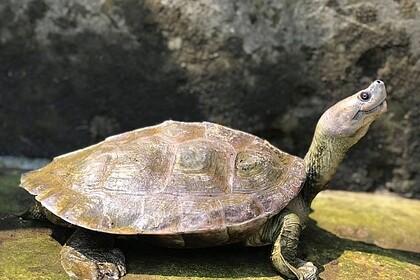 Редкую «улыбающуюся» черепаху спасли от вымирания